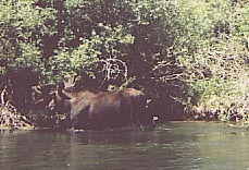 Moose in river eating willow.