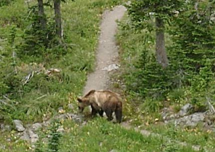 grizzly bear crossing trail